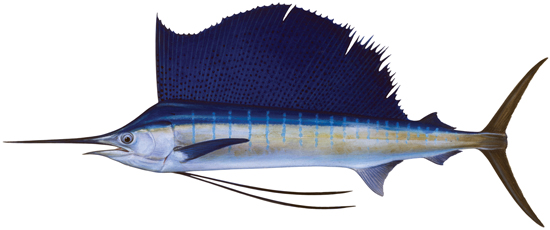sailfish western australian recreational fishing rules