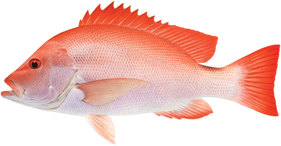 Sea perch scarlet western australian recreational for Ocean perch fish