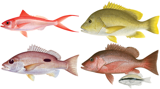 Tropical snappers and sea perch group western for Ocean perch fish