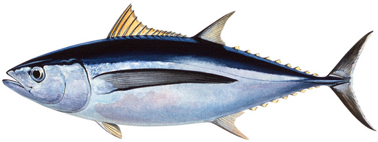 Albacore Fish   Tuna Albacore Western Australian Recreational Fishing Rules
