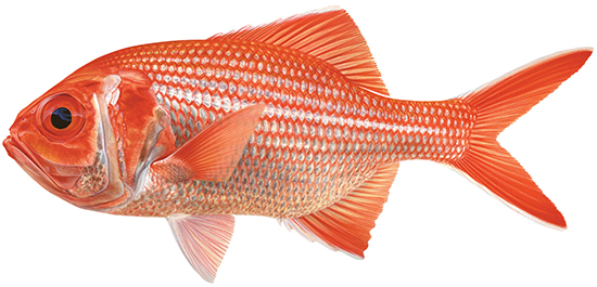 Bight redfish western australian recreational fishing rules for Types of red fish