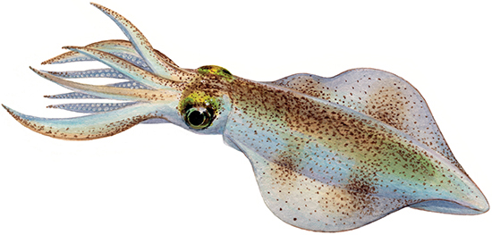 squid (group) - western australian recreational fishing rules
