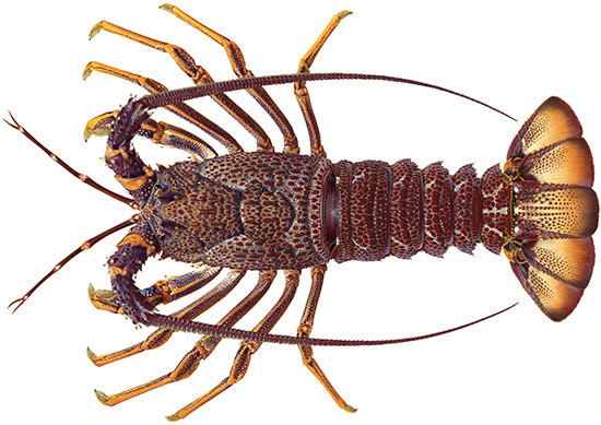 Rock lobster, southern - Western Australian recreational fishing rules