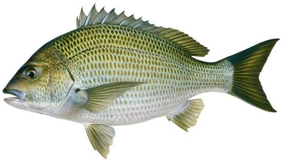 Bream black western australian recreational fishing rules for Pond fish identification